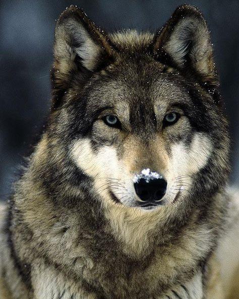 Animaux Tête de Loup