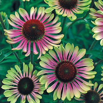 Green Twister Coneflower Spring Hill Nurseries In 2020 Spring Hill Nursery Green Flowers Perennial Plants