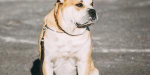 Ca De Bou O Dogo Mallorquín Razas De Perros Perros Diferentes Razas De Perros