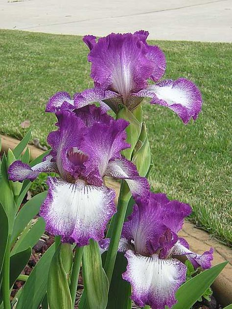 Mariposa Autumn Tall Bearded Iris Iris Flowers Showy Flowers Fragrant Flowers