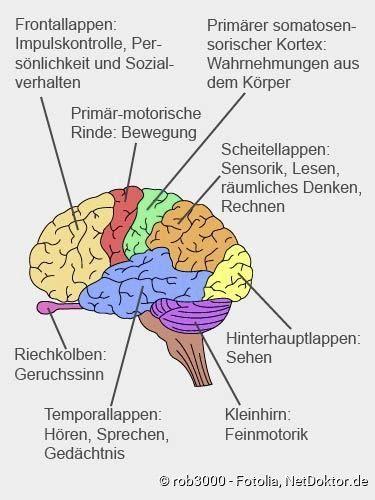 Aufbau Des Gehirns Aufbau Des Gehirns Kosmetik Mit Bildern