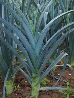 O Alho Poro E Uma Planta Surpreendentemente Facil De Cultivar