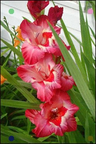 Gladiola Beautiful Flowers The Incensewoman Beautiful Flowers Beautiful Flowers Garden Amazing Flowers