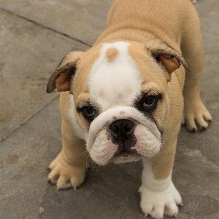 Cherry Eye Bulldog Dog Eyes French Bulldog Puppy