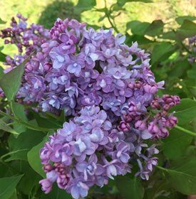 Growing Lilacs Planting Caring For Lilac Bushes Garden Design In 2020 Lilac Bushes Bush Garden Lilac Plant