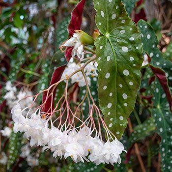 Pin On Begonias