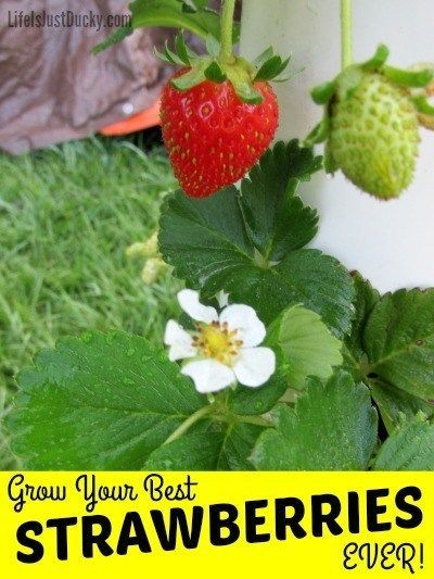 Grow Strawberries In A Fraction Of The Space Growing Strawberries Strawberry Plants Edible Landscaping