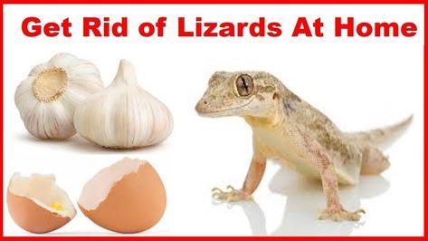 132cf333b49ee99bde6b78515de7e3e1 - How To Get Rid Of Wall Lizards At Home