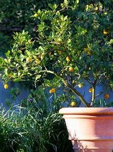 Citronnier En Pot Entretien Taille Rempotage Jardinage Balcon Jardinage Et Fleur Jardin