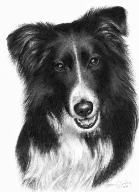 Memorial Portrait Of Malcolm Border Collie By Susan Donley