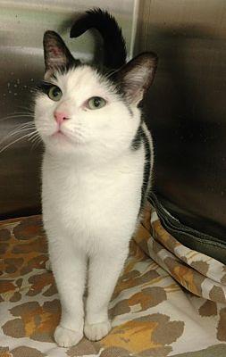Trenton Nj Domestic Shorthair Meet Mulan Tas 8 A Pet For Adoption Pet Adoption Cat Adoption Pets