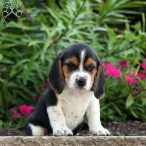 Beagle Puppies For Sale Beagle Breed Profile Beagle Beagle