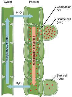 Sugar Transport In Plants Phloem Biology 1520 Biology Plants Biology Resources Plant Science