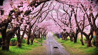 5 Tempat Piknik Di Bogor Kebun Raya Bogor Hingga Cibodas Bogorchannel Gambar Bunga Bunga Sakura Wallpaper Musim Semi