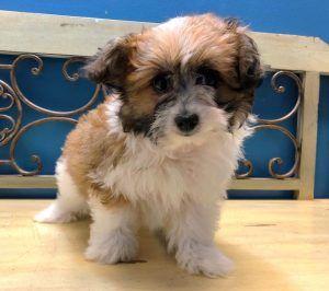 Puppies For Sale Orlando Fl Breeder S Pick Orlando Inc Puppies For Sale Breeders Puppies