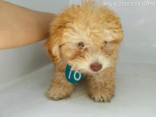 Www Petharbor Com Harris County Public Health Environmental Services Houston Tx Id A508254 9 Week Old Male Poodle Dog Adoption Poodle Animals