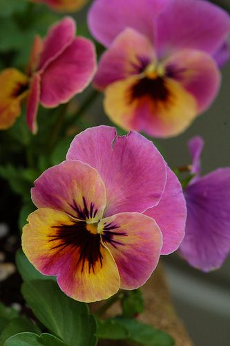 yellow and purple pansy2 | Lori Baine | Flickr