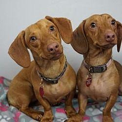 Available Pets At Dakota Dachshund Rescue In Sioux Falls South Dakota Dachshund Adoption Dachshund Rescue Pet Adoption