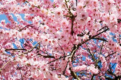 Cherry Blossoms From Aesthetics Of Joy Blog Post When Psychologists Use The Word Joy What They Mean Is An Japanese Cherry Tree Trees To Plant Japanese Cherry