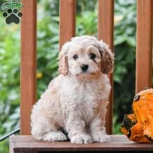 Cockapoo Puppies For Sale Cockapoo Dog Breed Info Greenfield Puppies Cockapoo Puppies Cockapoo Puppies For Sale Cockapoo Dog