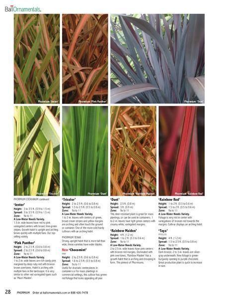 Fall Fireworks Finegardening New Zealand Flax Plants Plant Combinations