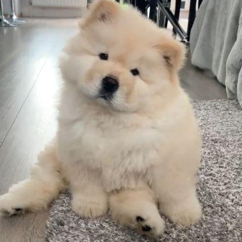 ChowChowPuppies 🦁🐾 (@worldofchowchow) • Instagram-kuvat ja -videot
