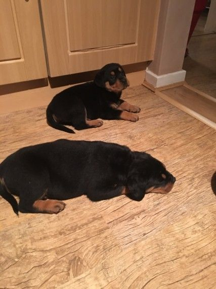 Stunning Rottweiler Puppies Ready Now Rottweiler Puppies Rottweiler Puppies