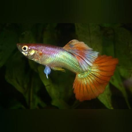 Amazingfish Amazingbeta Arowanas Beautifulkoi Beautifulfish Guppyfishes Amazinggoldfish Discusfish Guppy Fish Guppy Fish