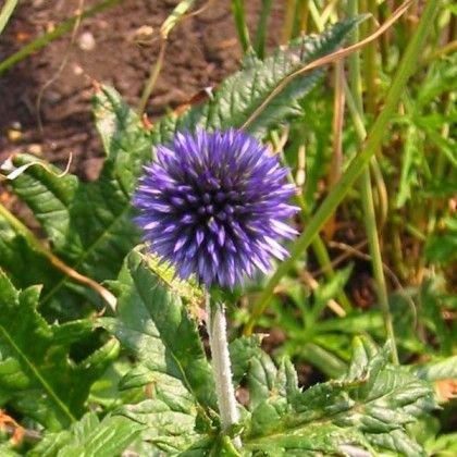 Echinops Ritro Boule Azuree Un Chardon Bleu A Fleurs En Boules