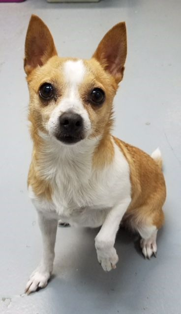 Chihuahua Dog For Adoption In Mission Viejo Ca Adn 751893 On