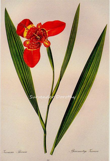 Ferraria Pavonia Prestele Botanical Illustration  William Henry Prestele