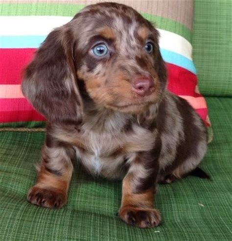 Image Result For Double Dapple Dachshund With Blue Eyes Grey