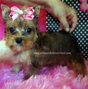 Newborn Yorkie Puppies Golden Yorkies For Sale Yorkie Puppy Yorkshire Terrier Yorkie