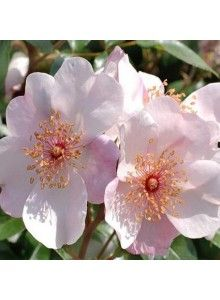 Rosier à fleurs groupées 'ASTRONOMIA®' Meiguimov. Cette fleur ne peut laisser indifférent avec ses cinq pétales telles les branches d'une ét...