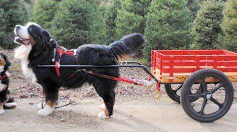 Dog Works Draft Pull Carts Dog Words Dog Help Dogs