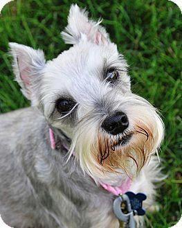 Miniature Schnauzer Smart And Obedient Schnauzer Puppy Schnauzer Breed Dogs