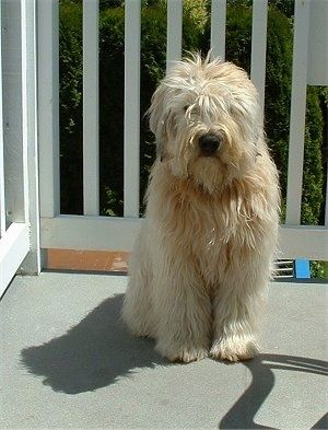 A Brown Long Haired Soft Coated Wheaten Terrier Is Sitting On A