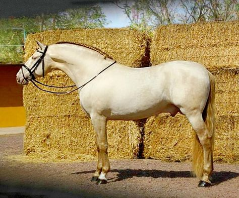 Pura Raza Española stallion Bronco PM. A fixture on Pinterest horse boards a while, he is a rare pseudo-dilute pearl and cream.