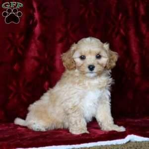 Maltipoo Puppies For Sale Maltipoo Breed Profile Doggies