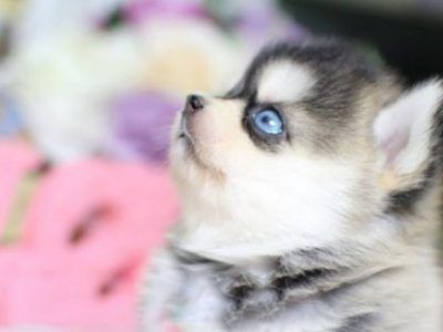 77 Teacup Pomeranian Mixed With Shih Tzu In 2020 Cute Animals Pomeranian Puppy Puppy Breeds