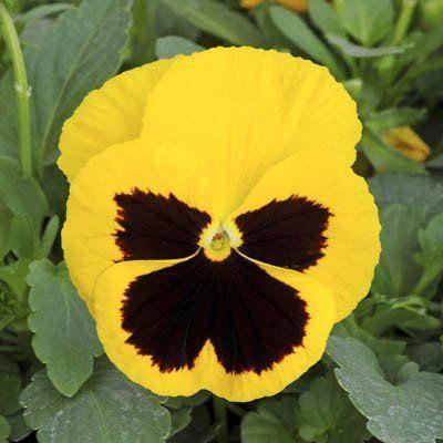 Colorful Garden Pansies Flowers Pansies Viola Flower