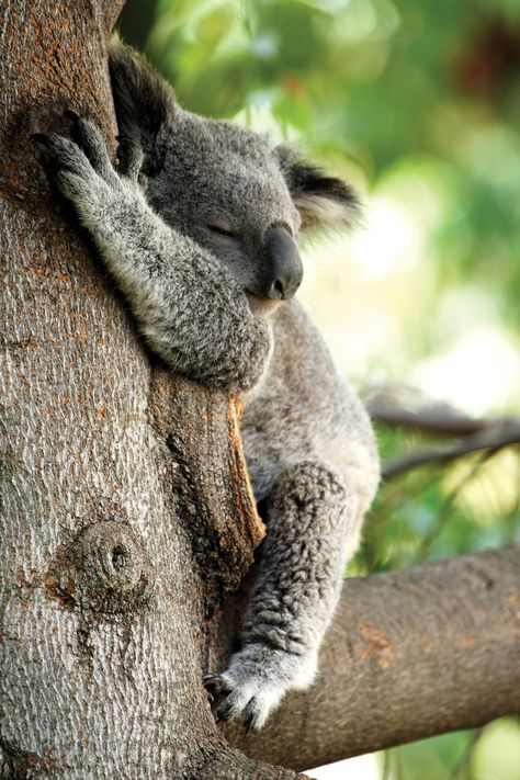 Where does a koala live? What does it eat? How does it care for its young?  How does this fit (or not fit) with its classification?