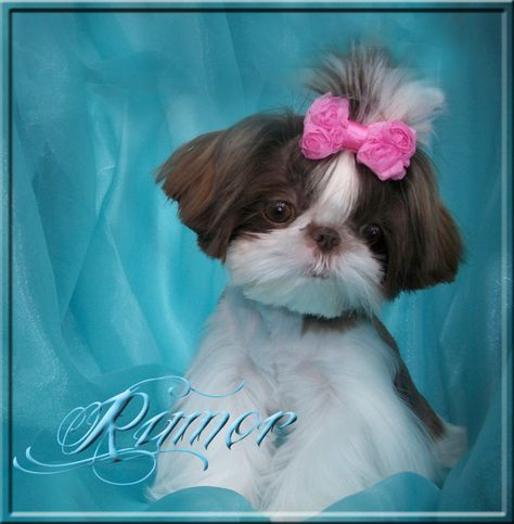 List Of Pinterest Shih Tzus Puppies For Sale North Carolina Pictures