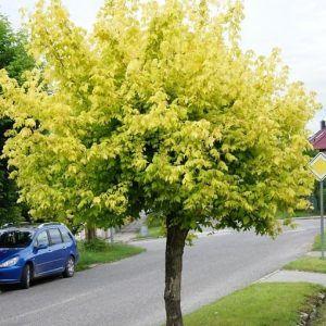 Acer Negundo Kelly S Gold Golden Box Elder Leafland Perfect Plants Specimen Trees Trees To Plant
