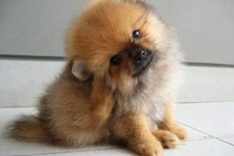 Pomsky Puppies For Sale Many 6 Cute Pomsky Puppies For Sale In Oklahoma In Dog Category Pomeranian Puppy Teacup Pomeranian Puppy For Sale Pomsky Puppies