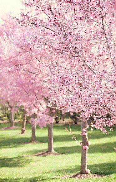Cherry Blossom Tree Garden Pink 60 Ideas Garden Tree Spring Landscaping Blossom Trees Flowering Trees