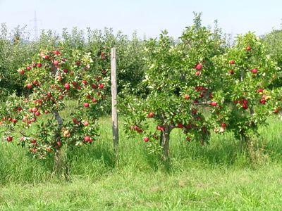 The Best Time To Prune Apple Trees Hunker Apple Tree Fig Tree Tree Growth