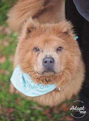 Willis Tx Chow Chow Meet Maverick A Pet For Adoption
