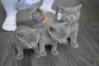 Pin On British Shorthair Kittens