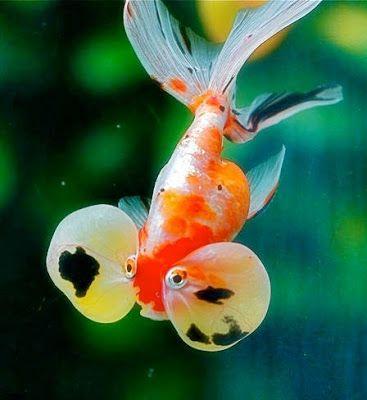 Inilah 10 Jenis Ikan Mas Koki Cantik Lucu Terpopuler Kotak Hias Di 2020 Ikan Mas Ikan Gambar